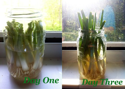 Naturally Frugal: Re-Growing Green Onions