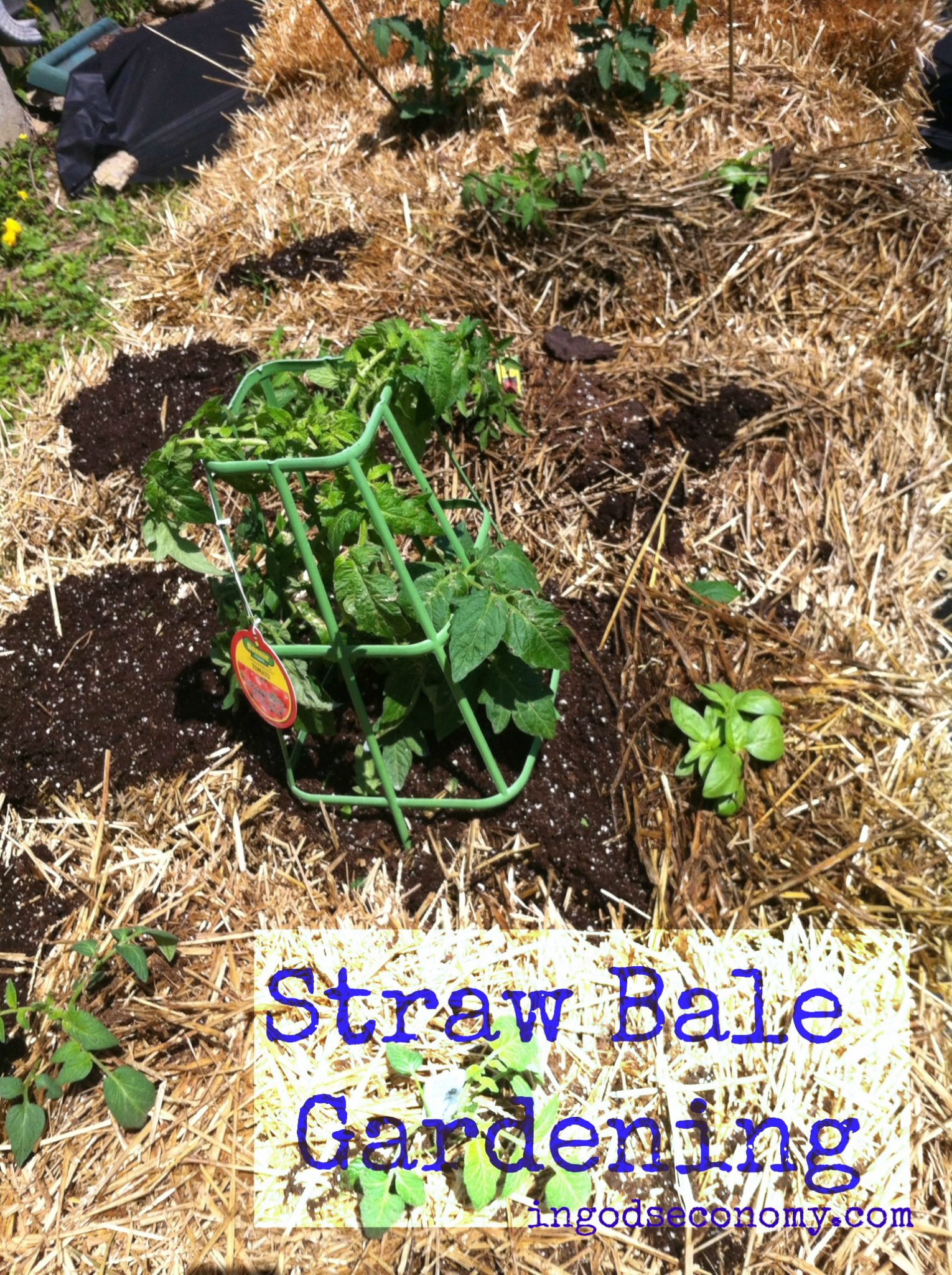 growing plants in hay bales Naturally Frugal: Straw Bale Gardening